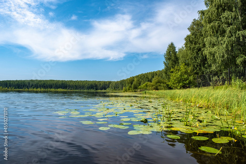 Fototapeta The shore of a large lake with sedge and water lilies on a summer day