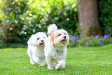 Two Cute Little White Dogs Romping In A Garden On The Lawn