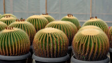Golden Barrel Cactus Close Up Background. Cactus In Nursery Fresh Natural Background