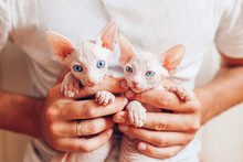 Man Holding Two Canadian Sphynx Kittens In Hands. Hairless Cats Have Blue Eyes