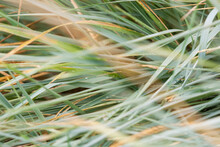 Thickets Of Decorative Grass Plant Leymus Arenarius (or Elymus Sand, Elymus Arenarius) With Sharp Leaves After Rain. Selective Focus.