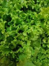 Crinkly Bright Green Fresh Lettuce Leaves