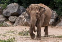 Asian Elephant Walking Towards The Camera