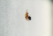 Cross Orb Weaver Spider Eating Prey In Ireland - View From The Underside
