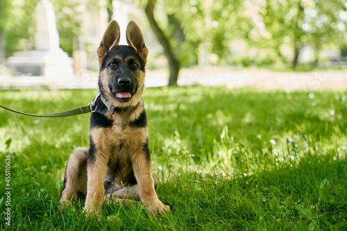 Fototapeta German shepherd puppy on leash sitting at green summer park