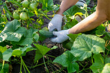 Hand Picking Cucumbers, Cucumbers In The Garden, Cucumbers On The Vine