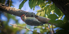 Male Red-bellied Woodpecker Hanging Onto A Branch