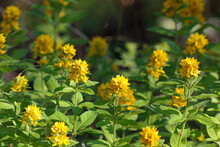 Beautiful View Of The Blossomed Yellow Garden Loosestrife Flowers