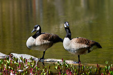 Two Canada Geese Standing On A Birch Log In A Pond With Plants In The Foreground
