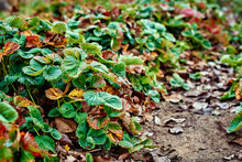 Strawberry Leaves Covered With Frost In Autumn Day