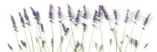 Lavender Flowers Panorama, Shot From The Top On A White Background. Lavandula Blossoms Panoramic Banner