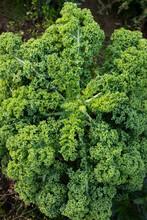 Green Kale Growing