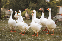 Flock Of Domestic Geese On A Green Meadow. Geese In The Grass, Domestic Bird, Flock Of Geese, Panoramic View.