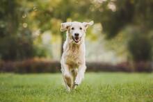 Dog Golden Retriever Running