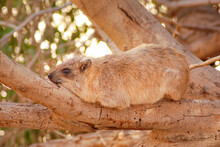Rock Hyrax Lying On A Tree Branch