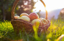 Red And Green Freshly Picked Apples In Basket On Green Grass