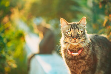 Gorgeous Gray Cat Outdoor Portrait In Sunny Day. Close Up