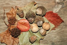 Close-up Top View Of Acorns, Walnuts And Sycamore Seed Pods, Scattered On Top Of Colorful Autumn Leaves.