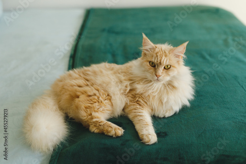 Close up of pet cat in bedroom, lying on bed, looking to camera