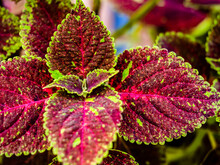 Close Up Shot Of Colorful Coleus Leaves With Defocused Background.