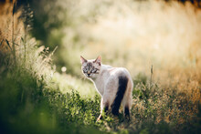 A Thai Cat Walks In The Grass.