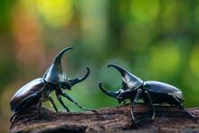 Siamese Rhinoceros Beetle, Fighting Beetle