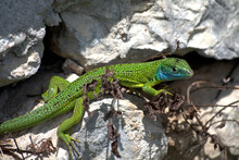 Green Lizard On A Rock,reptile, Animal, Nature, Wildlife,creature, Fauna,