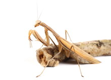 European Mantis Religiosa Isolated On White Background, Subspecies - Mantis Religiosa Macedonica