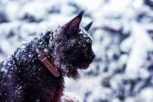 A Very Nice Black Maine Coon Cat Sitting On A Tree In A Winter Snowy Forest. Cold Frosty Weather.