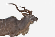Male Kudu Antelope Side View Cutout On White Background