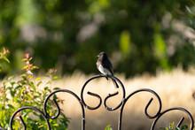 Black Phoebe Bird In The Fence