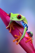 Red-eyed Tree Frog Sitting On A Flower
