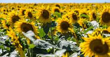 Iowa Sunflower Fields