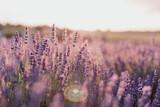Fototapeta Kwiaty - heather field