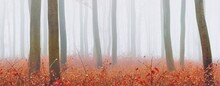 Mysterious Majestic Golden Beech Forest In A Thick Fog. Mighty Trees. Red And Orange Leaves. Lorraine, France. Atmospheric Autumn Landscape. Picturesque Panoramic View. Ecotourism, Environment, Nature