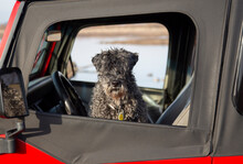 An Eye Level View Of A Kerry Blue Terrier With Its Head Hanging Out Of The Driver Side Window Of A Parked Vehcile