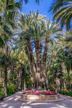 The Imperial Palm Tree, An Oddity With Seven Grown Shoots, Is An Attraction At Elche's Huerto Del Cura Botanical Garden. Palmeral Of Elche, Alicante, Spain.