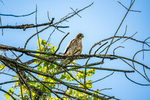 Red-Shouldered Hawk Perched On A Branch Looking For Food