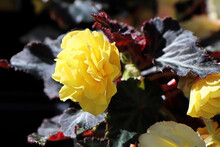 A Yellow Begonia Growing In The Sunlight