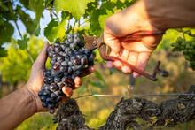 Récolte Du Raisin Noir Dans Les Vignes, Gros Plan Sur Les Mains Du Viticulteur Pendant Les Vendanges.