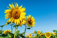 Beautiful Fresh Sunflowers And Bees