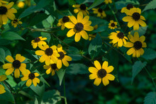 Yellow Flowers Rudbeckia Triloba Or Brown-eyed Susan, Three-lobed Or Thin-leaf Coneflower In Sunny Garden On Blurred Green Background. Soft Selective Close-up Focus.