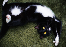 Overhead View Of A Black And White Tuxedo Cat Lying On The Grass In A Garden
