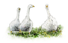 Watercolor Illustration Of Geese Walking On Green Grass. A Hand-drawn Sketch.