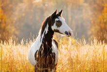 Portrait Of Paint Horse In Autumn