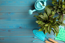 Potted Sorrel Plants And Gardening Tools On Light Blue Wooden Table, Flat Lay. Space For Text
