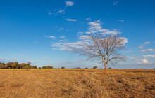 Árvore Sem Folhas No Cerrado Seco Sob O Céu Azul.