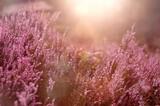 Fototapeta Kwiaty - Kwiaty , jesienne wrzosy