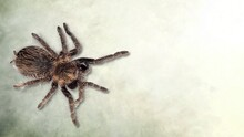 The Wild Brown Spider Is On The Rough Ground.