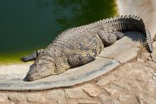 Nile Crocodile (Crocodylus Niloticus) Sunbathing By The Pool At Crocodile Farm In Namibia, Africa.